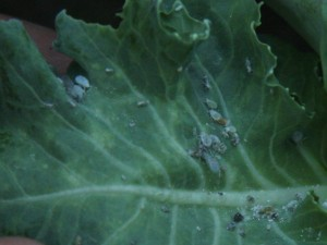 Aphids on broccoli