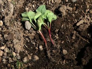 Radishes dug up but otherwise unharmed